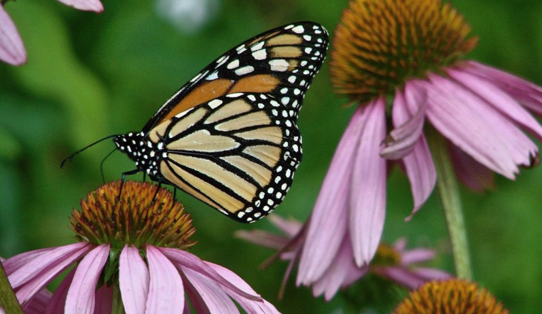 Monarch-Echinacea_PixabayStockFreeUse